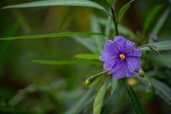Purple Blossom of the Kangaroo Apple 2 Royalty Free Stock Images