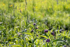 Purple blossoming common comfrey plant. Purple blooming of a common comfrey plant. Comfrey is used in folk medicine as an alternative medicine for various Royalty Free Stock Images