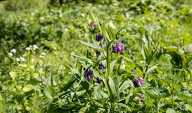 Purple flowering common comfrey from close. Purple blossoming common comfrey or Symphytum officinale between other wild plants and flowers in a Dutch nature Stock Images