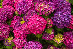 Purple blossoming hortensia Stock Image