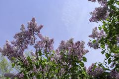 Branches of lilac flowers against blue sky. Purple blossoms against sky on a sunny spring day. Rochester, New York royalty free stock photos