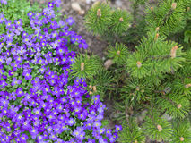 Purple blossoms of Aubrieta flowers anf pine tree Royalty Free Stock Image