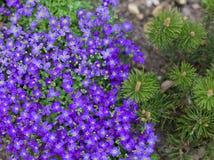 Purple blossoms of Aubrieta flowers anf pine tree Stock Photos