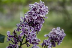 Purple Blossoms. Closeup photograph of purple blossoms with white edges on a flowering tree stock image