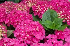 Purple blossoms of hortensia Royalty Free Stock Photo
