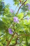 Purple blossoms on jacaranda tree Royalty Free Stock Image