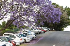 The purple blossoms of the Jacaranda trees falling on cars parked on a hill in Australia. The purple blossoms of the Jacaranda trees falling on  a row of cars Royalty Free Stock Photos