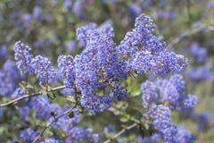 Purple blossoms of Ramona lilac bush on sunny day royalty free stock photos