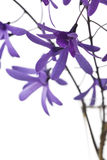 Purple blossoms on white background Royalty Free Stock Photos