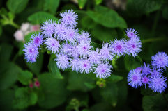 Purple blowing flower Ageratum Stock Image