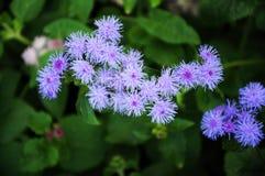 Purple blowing flower Ageratum Stock Image