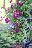 Purple and blue clematis in full bloom. Purple and blue clematis blooms dot the vine growing in a flower garden Stock Images