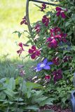 Purple and blue clematis in full bloom. Purple and blue clematis blooms dot the vine growing in a flower garden Royalty Free Stock Photography