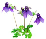 Purple Blue Columbine Flower Isolated. A grouping of Columbine flowers   (Granny's Bonnet) with leaves isolated against a white background Stock Image