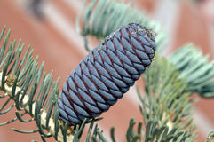 Purple-blue cones of Korean Fir - Abies koreana Stock Images