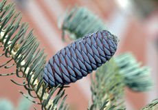 Purple-blue cones of Korean Fir - Abies koreana Royalty Free Stock Image