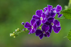 Purple blue duranta or Golden dewdrop flower Stock Photography