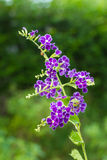 Purple blue duranta or Golden dewdrop flower Stock Image