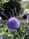 The purple/blue Echinops ritro, the southern globethistle, is a species of flowering plant in the sunflower family stock images