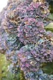 Purple and blue fading hydrangea flower heads Stock Images