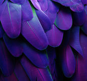 Purple and Blue Feathers. Macro photograph of the feathers of a macaw with a purple color shift Stock Photography