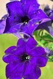 amazing purple blue flower with velvet glow royalty free stock photography