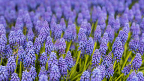 Purple and blue flowering Grape Hyacinths Stock Photos
