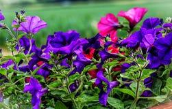 Purple and blue flowering petunia Solanaceae Stock Image
