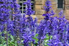 Free Purple Blue Flowers Lavendar Lilac Field Garden European Stock Photos - 77371333