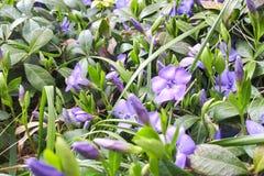 Purple blue flowers of periwinkle. Vinca minor royalty free stock photography