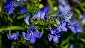 Purple blue Flowers Royalty Free Stock Photos