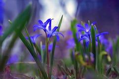 Purple blue flowers, soft focus, dusk, night lighting. Dreamy romantic spring, close-up. Blue flowers, soft focus, dusk, night lighting. Dreamy romantic spring stock photography