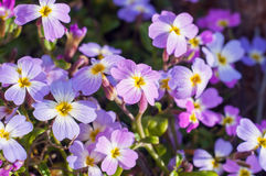 Purple blue forget-me-not flowers in spring close up Royalty Free Stock Images