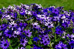 Purple and blue gerber daisies Royalty Free Stock Images