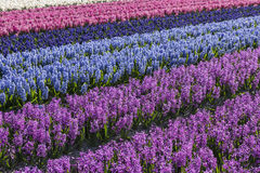 Purple and Blue Hyacinth Field Noord-Holland. Rows of purple and blue hyacinths in een agricultural field in Noord-Holland in the Netherlands Stock Images