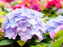 Purple blue hydrangea flower Stock Photos