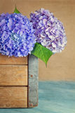 Purple and blue hydrangea flowers Royalty Free Stock Images
