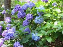 Purple and blue Hydrangea flowers (Hydrangea macrophylla) in a garden in summertime Stock Photo