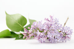 Purple-blue lilac Royalty Free Stock Photos