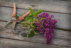Purple-blue lilac and secateurs on a wooden  table Royalty Free Stock Images