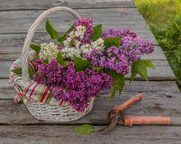 Purple-blue lilac in a white basket and secateurs on a wooden  t Stock Photo