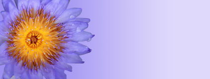 Purple blue Lotus Royalty Free Stock Image