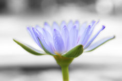 Purple blue Lotus Royalty Free Stock Photo