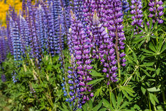 Purple and blue lupin flowers Royalty Free Stock Images