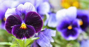Purple and blue pancy Viola tricolor with green leaves close-up. Purple and blue fialka Viola tricolor with green leaves close-up  among green plants over Stock Photo