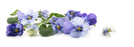 Purple blue pansy flowers and leaves, spring banner background i. N panoramic format isolated with small shadows on a white background, floral design, selected royalty free stock images