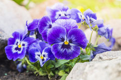 Purple blue pansy flowers in rock garden Royalty Free Stock Photography