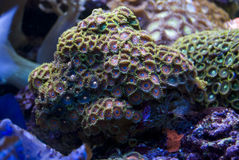 Purple Blue Polyp. Purply and green colour variation of the polyp Royalty Free Stock Photos