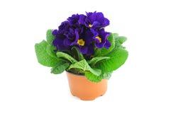 Purple blue primula on isolated white background Stock Photo