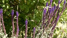 Purple blue salvia against dark green bushes stock video